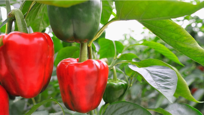 Paprikapflanze mit Früchten