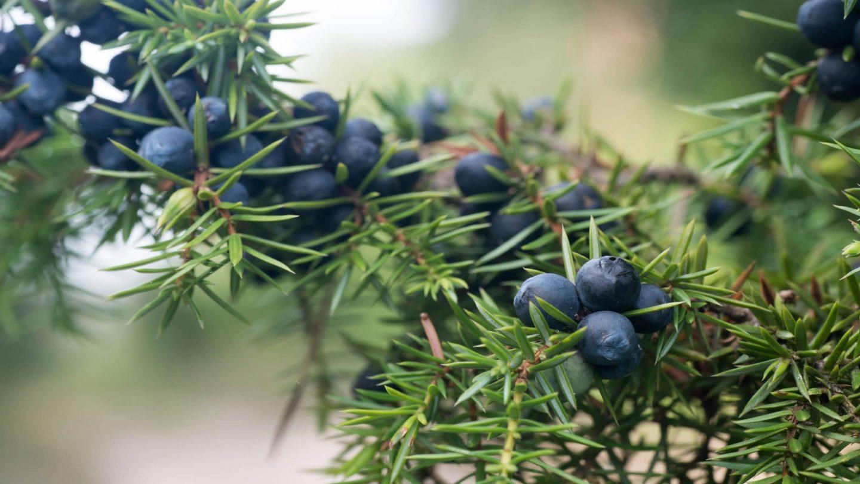 Wacholderpflanze mit Beeren